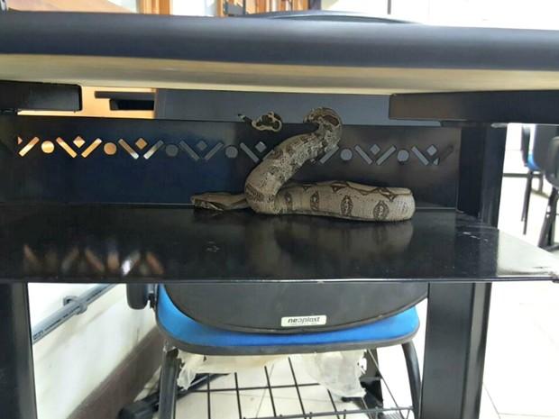 Cobra estava em carteira da sala do curso de administração (Foto: Divulgação)