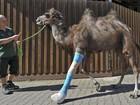 Camelo fêmea alemã reaprende a andar com gesso após quebrar pata
