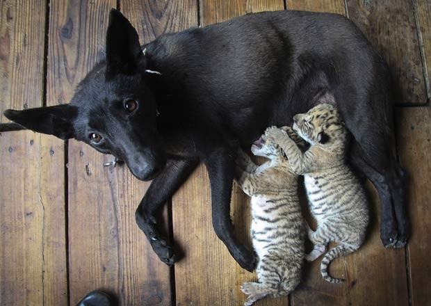Em maio de 2011, uma cadela está amamentou filhotes de uma tigresa em um zoológico em Weihai, na província de Shandong, na China, depois que, por razões desconhecidas, mãe os rejeitou. (Foto: AP)