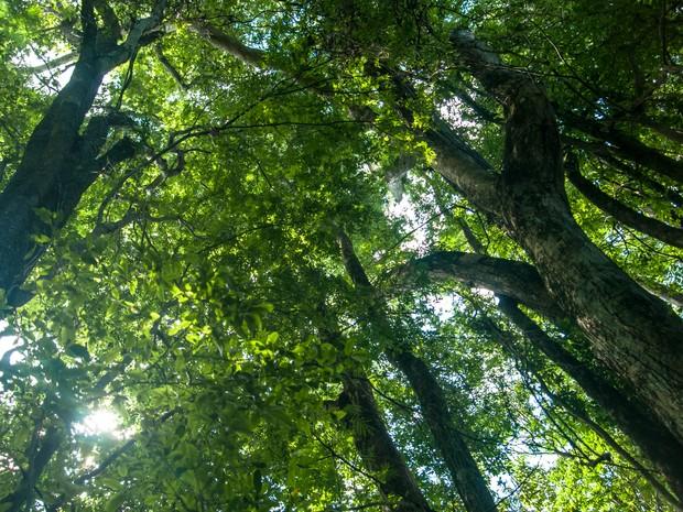 As copas das árvores da Mata Atlântica  (Foto: Divulgação/SOS Mata Atlântica)