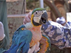 Filhote de arara-canindé estava em ninho em depósito de carros.  (Foto: Reprodução/TV Morena)