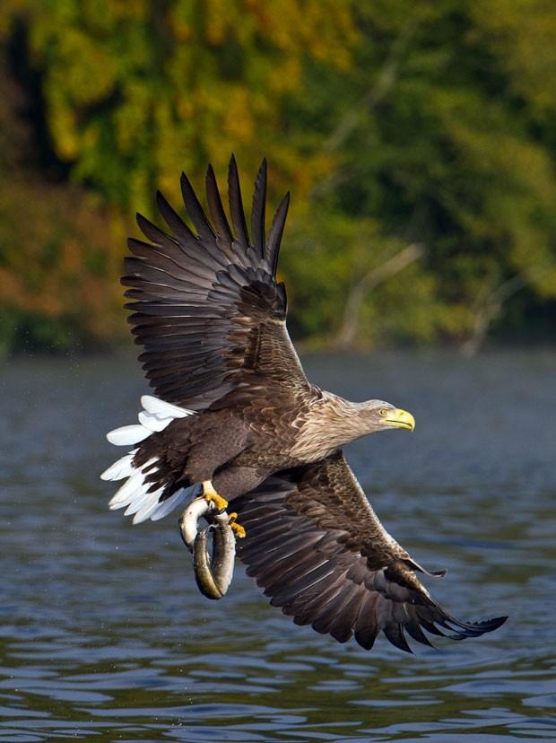 Em outubro, o fotógrafo Patrick Pleul flagrou o exato momento em que uma águia capturou uma enguia no lago Breiter Luzin em uma reserva natural perto Feldberg, na Alemanha. (Foto: Patrick Pleul/AFP)