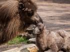 Bebê camelo do zoo de Chicago vira estrela nas redes sociais