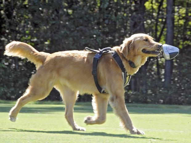 Cães são preparados para servir como animais de terapia. (Foto: AP Photo/The Sun News, Charles Slate)