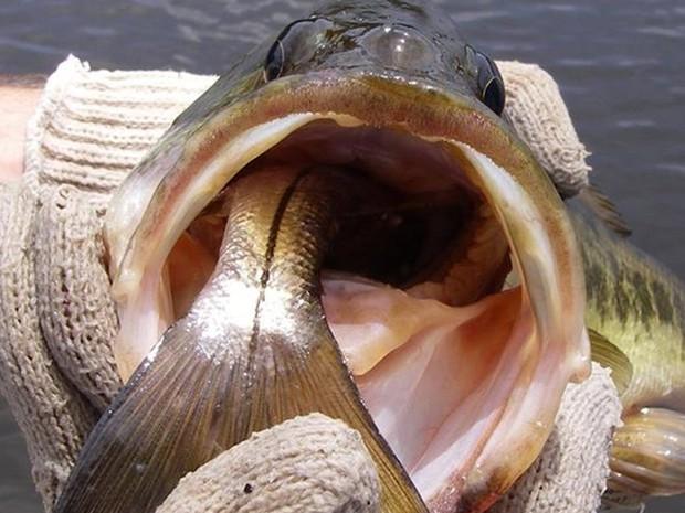 Biólogos capturaram achigã no momento em que ele devorava outro peixe (Foto: Reprodução/Facebook/FWC Fish and Wildlife Research Institute)