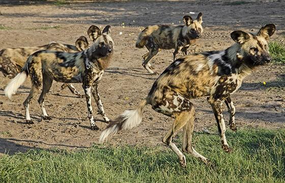 Divididos em quatro matilhas, 41 cachorros-selvagens foram salvos pelo projeto Proteção aos Predadores (Foto: © Haroldo Castro/ÉPOCA)