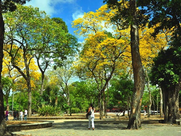 Ipês do Parque Solon de Lucena começaram a florir (Foto: Divulgação/Secom-JP)