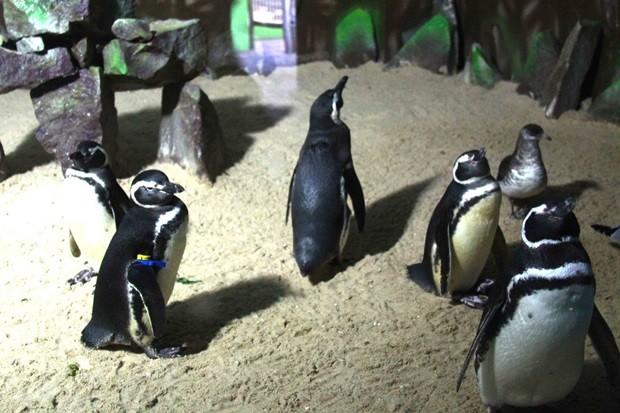 Pinguins do Aquário Natal se revezam para chocar o ovo  (Foto: Evaldo Gomes)