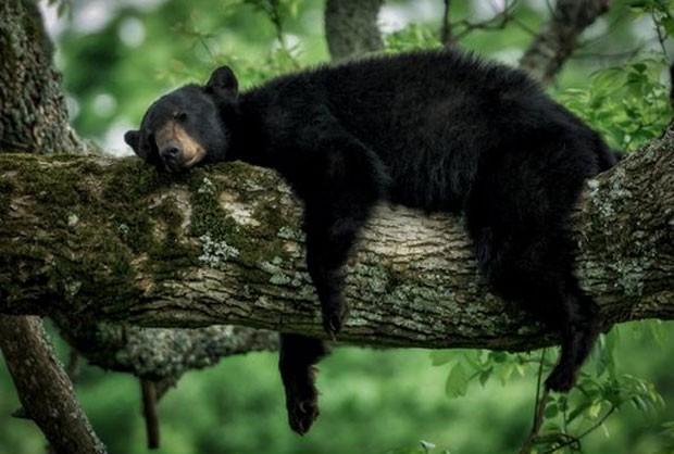 Urso foi fotografado na maior preguiça no parque nacional Great Smoky Mountain (Foto: Reprodução/Twitter/ US Dept of Interior)