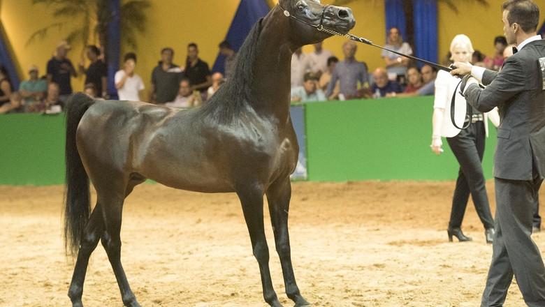 cavalo-garanhão-bandi (Foto: Rogério dos Santos)