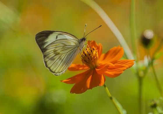 Ascia monuste, a borboleta símbolo da minha infância; seu nome popular é borboleta-da-couve (Foto: © Haroldo Palo Jr/Vento Verde)