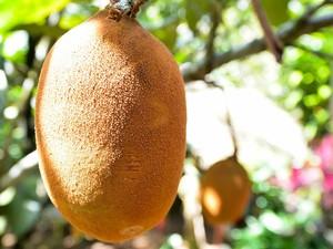 Frutos como o cupuaçu também são cultivados na aldeia (Foto: Marina Souza/G1 AM)
