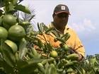 Preço do limão na entressafra anima agricultores de São Paulo