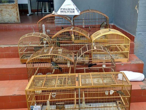Pássaros apreendidos Zona da Mata  (Foto: PM do Meio Ambiente/Divulgação)