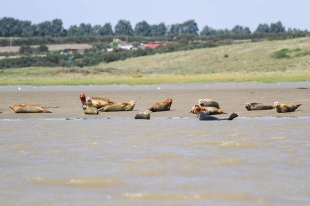 Cientistas da ZSL calculam que quase 700 focas comuns vivam no estuário do Tâmisa  (Foto: Zoological Society of London (ZSL)/Divulgação)