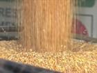 Falta de milho para ração prejudica criadores de frangos e suínos em SC