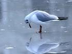 Gaivota 'admira' o próprio reflexo em lago congelado na Alemanha