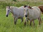 Anemia infecciosa equina coloca em risco a vida dos cavalos do Pantanal