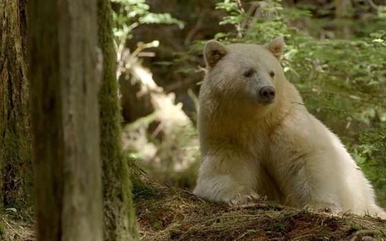 Um urso-espírito da Great Bear Rainforest, na Columbia Britânica, costa oeste do Canadá (Foto: Jon Rawlinson/Wikimedia)