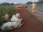 Seis vacas são atropeladas na DF-290, na Ponte Alta do Gama