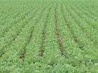 Preço e rendimento dão mais espaço para a soja nas lavouras de MS
