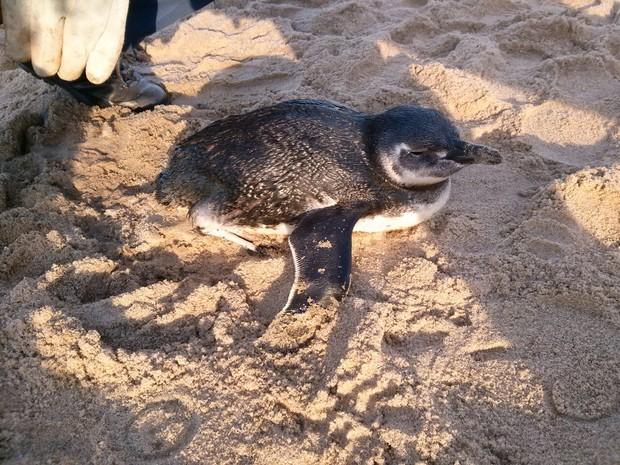 Pinguim foi resgatado na praia Central de Piçarras (Foto: Corpo de Bombeiros/Divulgação)