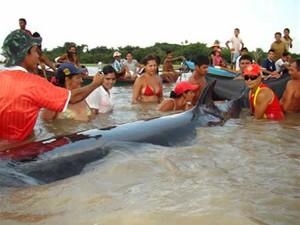 Baleia Minke encalhada no Rio Tapajós, em Belterra  (Foto: Arquivo/TV Tapajós)