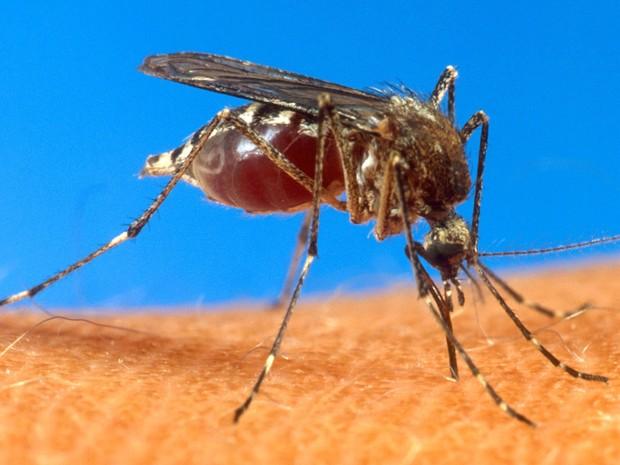 Mosquito da dengue aedes egypt (Foto: USDA/AP)