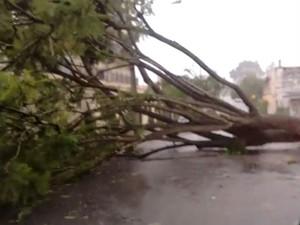 Árvore caiu e fechou a rua Giácomo Longobardi, no Jardim Emília (Foto: Roney Rodrigues/Arquivo Pessoal)