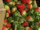 Falta de chuva preocupa produtores de morangos de SP