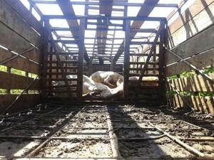 Bois morreram com o calor em Dois Córregos (Foto: Arquivo pessoal)