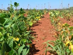 IAC testa 76 linhagens em busca de feijão resistente à falta de água (Foto: Fernando Pacífico / G1 Campinas)