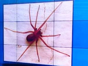 Aranha que teria picado Edineuza bispo é da espécie conhecida como aranha marrom (Foto: Imagens/ Tv Bahia)