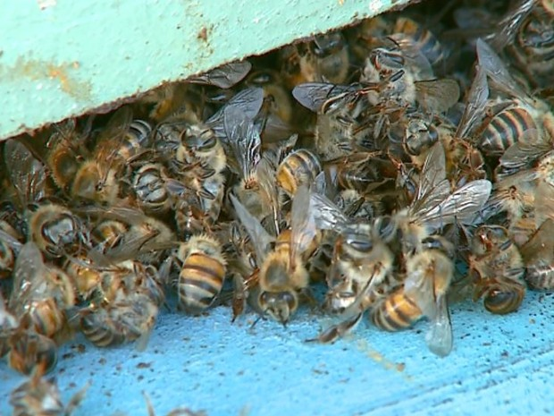 Pelo menos cinco milhões de abelhas morrem em apiários de Santa Cruz da Conceição (Foto: Ely Venâncio/ EPTV)