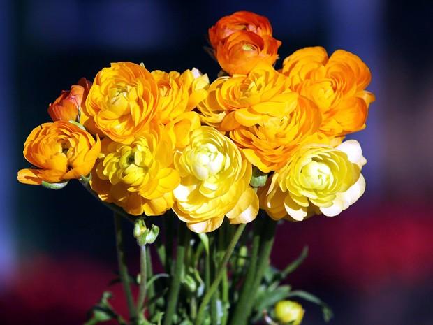 Ranúnculo Amarelo tem origem italiana e uma variedade de cores vivas e brilhantes (Foto: Divulgação Explofora/Humberto de Castro)