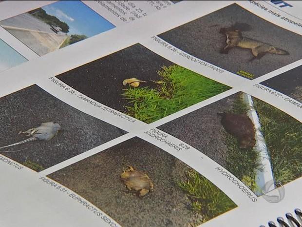 Atropelamento de animais em rodovias de MS (Foto: Reprodução/TV Morena)