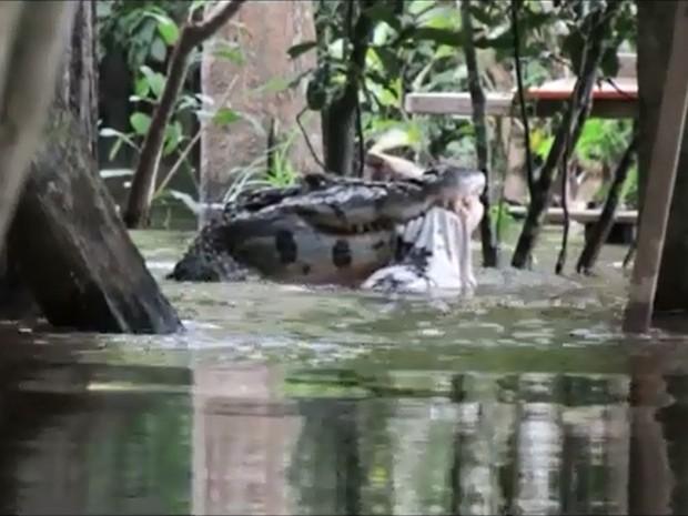 Jacaré come cobra no Rio Guaporé (Foto: Carlos Costa/Arquivo Pessoal)
