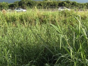 Mato alto é alvo de reclamação dos moradores (Foto: Reprodução / TV Tribuna)