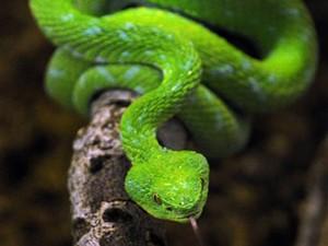 Cobra (Foto: AFP Photo / Mark Ralston)