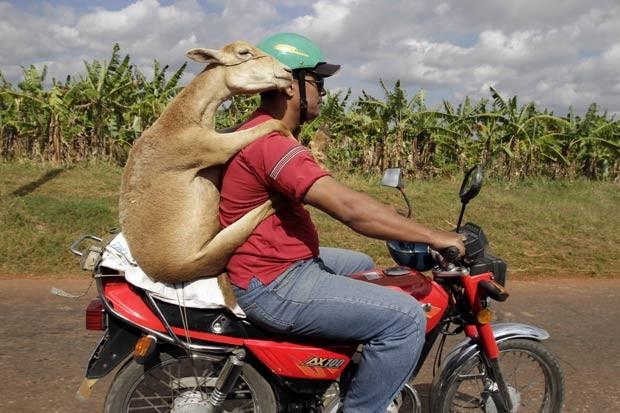 Um cubano foi flagrado na quinta-feira (6) em Havana, capital do país, carregando um carneiro em uma moto. (Foto: Franklin Reyes/AP)