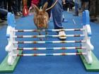 Coelhos 'atrapalhados' fazem corrida com obstáculos na República Tcheca