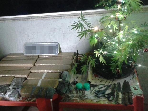Pé de maconha Natal Uberlândia (Foto: Polícia Militar/Divulgação)