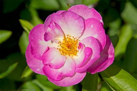 """Escapada"""" é uma variedade da rosa híbrida Floribunda, que, em"""