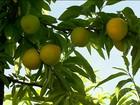 Clima prejudica a qualidade do pêssego cultivado no RS