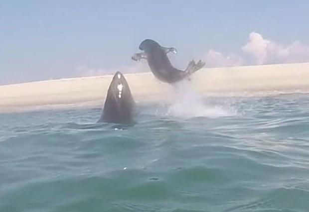 Vídeo incrível mostra foca escapando por um triz de ataque de grande tubarão branco (Foto: Reprodução/YouTube/ Atlantic White Shark Conservancy )