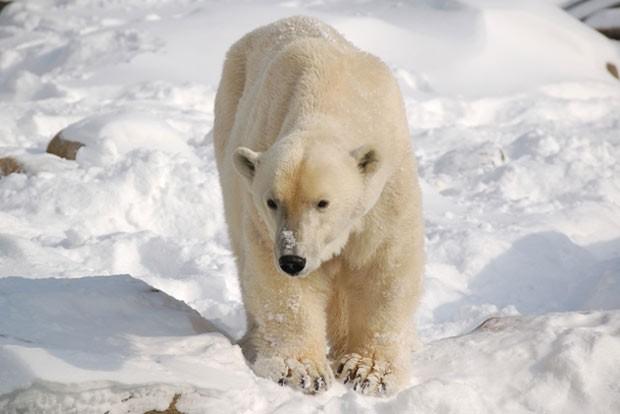 O zoológico de Bremerhaven, na Alemanha, anunciou que teve de sacrificar a ursa polar Irka, de 34 anos, depois que ela começou a apresentar dificuldades de locomoção e alterações em exames sanguíneos.  Segundo divulgou o zoo nesta quarta-feira (4), análise posterior à morte mostrou que ela tinha um tumor no fígado.  Exceto pelos problemas apresentados recentemente, a ursa, levada do Canadá para a Alemanha  em 1979, sempre foi saudável. Por isso, conseguiu atingir a idade de 34 anos, quando o normal para a espécie é não passar dos 20. (Foto: Bremerhaven Zoo am Meer/Divulgação)