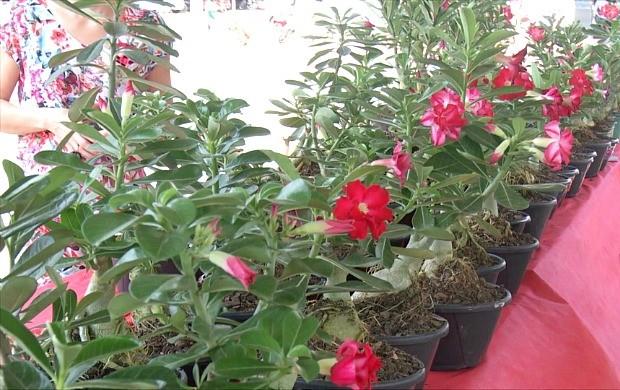 Festival de rosas do deserto é realizado em Ariquemes (Foto: Bom Dia Amazônia)