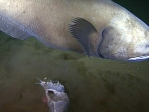 Cientistas do Oceanlab captaram imagens inéditas da vida marinha em uma das mais profundas regiões do Oceano Pacífico (Fot BBC)