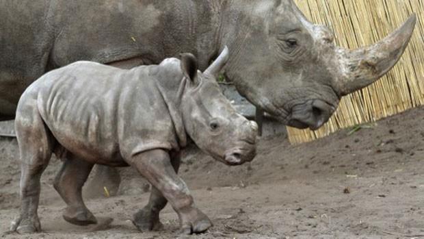 Filhote fêmea de rinoceronte-branco batizado de Makena caminha junto à sua mãe em zoo da Alemanha (Foto: Holger Hollemann/AFP)