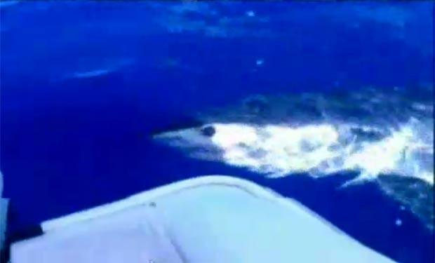 Em janeiro deste ano, um grande tubarão branco foi filmado por dois pescadores do Havaí, nos EUA, dando voltas em torno do barco em que eles estavam (assista). Conforme Addison Toki e Dominick Gaballo, o predador foi atraído pelo cheiro de um marlim de mais de 136 quilos que eles haviam capturado. A dupla estava a cerca de oito quilômetros da costa de Oahu, quando o tubarão rondou seu barco por cerca de uma hora. (Foto: Reprodução)
